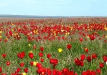 Фестиваль тюльпанов в Калмыкии вошел в ТОП-25 мероприятий событийного туризма